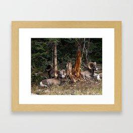 Big Horn Sheep Relaxing Framed Art Print