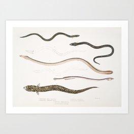 1 Bora Ophisurus (Ophisurus Boro) 2 Harancha Ophisurus (Ophisurus Hurancha) 3 Linear Moringua (Morin Art Print
