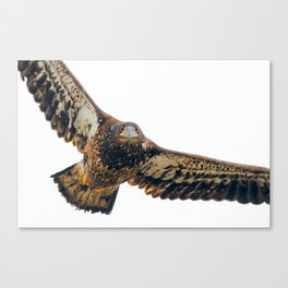 Young Bald Eagle in Breathtaking Flyby Canvas Print