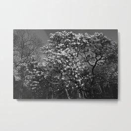 Magnolia Tree in Blossom (BW) Metal Print