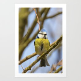 Blue tit on branch, Eurasian blue tit, (Cyanistes caeruleus) Cute little Bird Art Print
