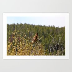 Red-tailed Hawk in the Tetons Art Print