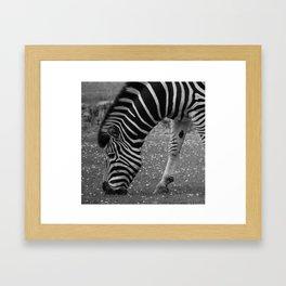 Black & White  Zebra Framed Art Print