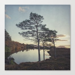 Scotts Pine Canvas Print