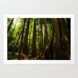 Ancient Cedars Art Print