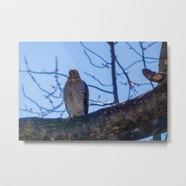Juvenile Sharp-Shinned Hawk Perched Metal Print