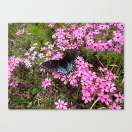 Swallowtail on Pink Phlox Canvas Print