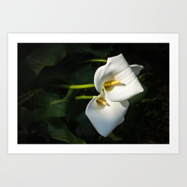 Close-up of Giant White Calla Lily Art Print