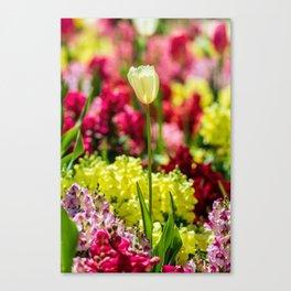 White tulip lit by the sun Canvas Print