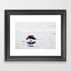 Puffin approaching! Framed Art Print