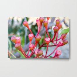 Flowering Gum 1. The Bud Cluster. Australia. Metal Print