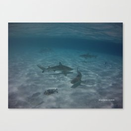 Sharks Sharks and more Sharks Canvas Print