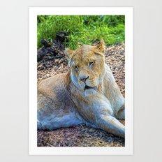 Lion Panthera leo Art Print
