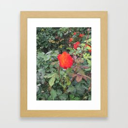 Sunset Rose #1 Framed Art Print
