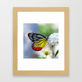 Asian Painted Jezebel butterfly Framed Art Print