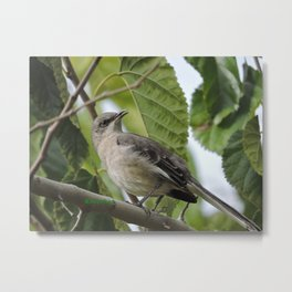 Mockingbird in a Mulberry Tree Metal Print