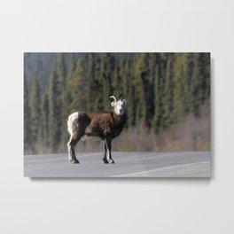 Mountain sheep Metal Print