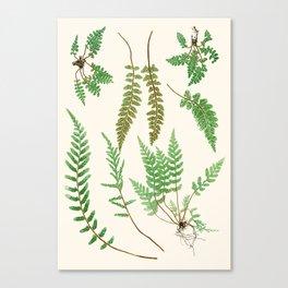 Ferns on Cream II - Vintage Botanical Print Canvas Print