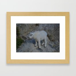Baby mountain goat in the Rocky Mountains Framed Art Print