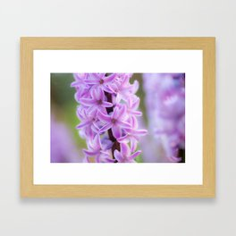 Hyacinthus orientalis 645 Framed Art Print