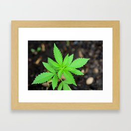 Growing Cannabis plant Framed Art Print