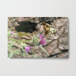 Scarce Swallowtail Butterfly and Thistle Metal Print