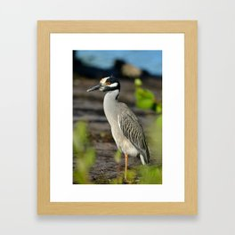 Yellow Crown Night Heron Framed Art Print