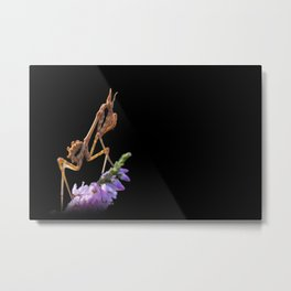 The mantis Empusa pennata Metal Print