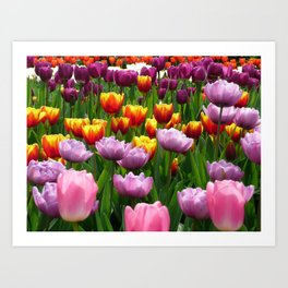 Spring Tulips in England Art Print