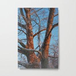 Sycamore Sunset Metal Print
