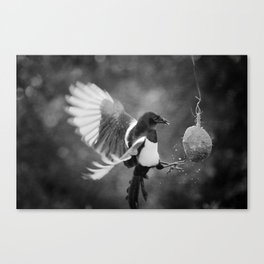 Magpie Feeding Canvas Print