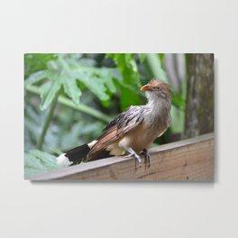 guira cuckoo Metal Print