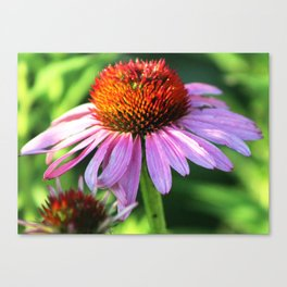 Cone Flower or Echinacea in Horicon Marsh Canvas Print