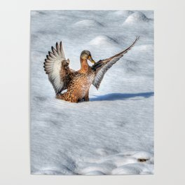 Happy Landing - Mallard Duck in Snow Poster