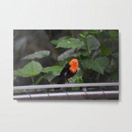 National Aviary - Pittsburgh - Scarlet Headed Blackbird Metal Print