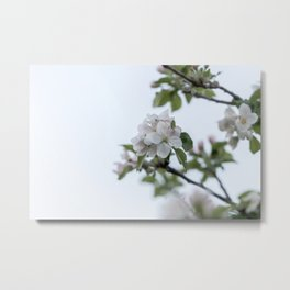 Apple tree spring blossoms Metal Print