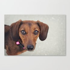 Doxie Dares You  Canvas Print