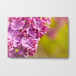 Pink Syringa vulgaris lilac Metal Print