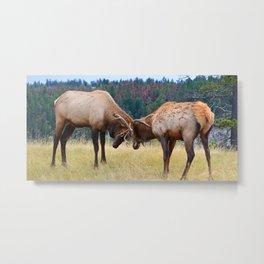 Bull elk in the rut season in Jasper National Park Metal Print