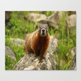 On The Rocks Marmot Canvas Print