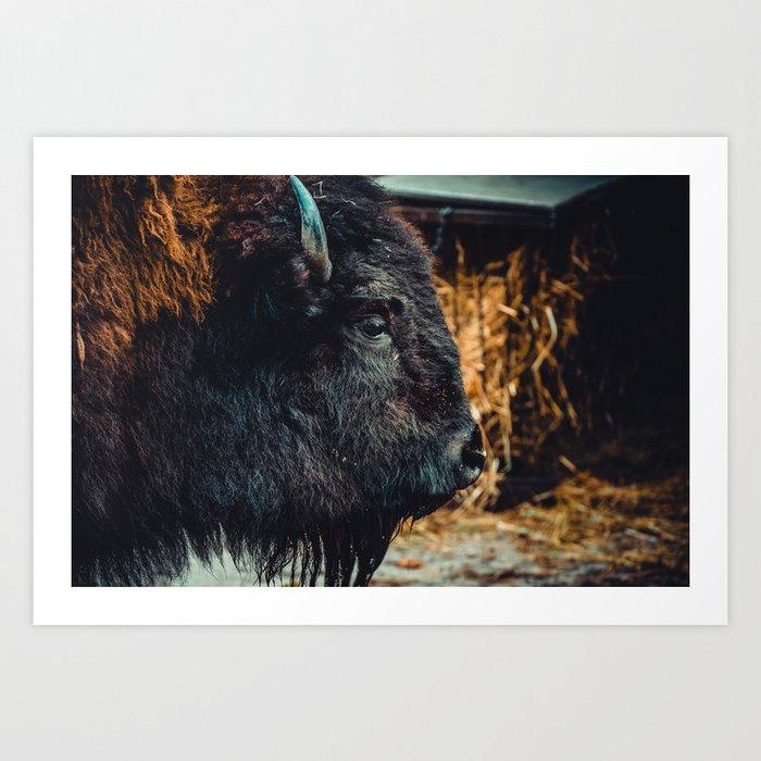 Bison. Photograph Art Print