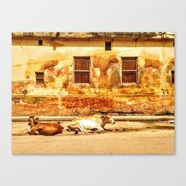 Varanasi Cows Canvas Print
