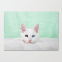 Portrait of a white kitten with heterochromia Canvas Print
