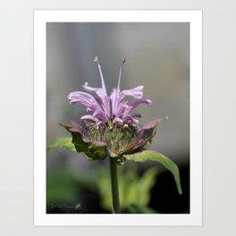Bee Balm named Panorama Lavender Art Print