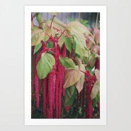 Amaranthus Art Print