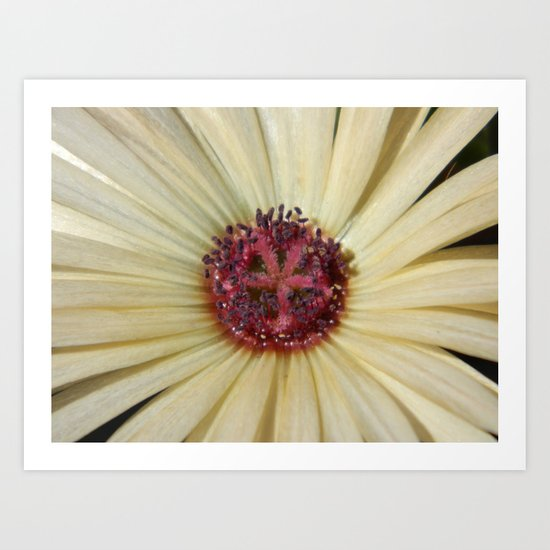 livingstone daisy Art Print
