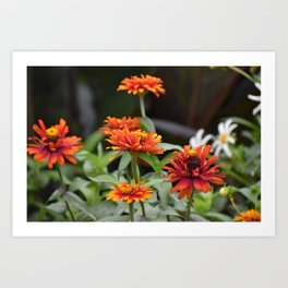 Orange Dahlias Art Print