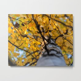 Looking Up Birch Tree Yellow Leaves Branches Sky Metal Print