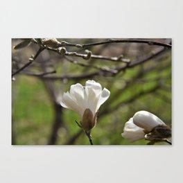 Spring Magnolia Blooms Canvas Print