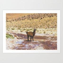 Llama Crossing in Bolivia Art Print
